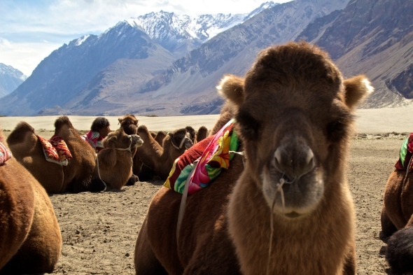 bactrian camels nubra valley